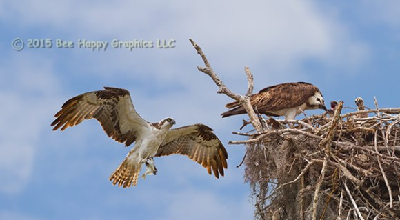 An osprey brings a fish back to the nest as the other parent tries to feed three chicks.