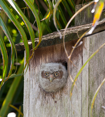 Baby screech owl in our backyard nestbox
