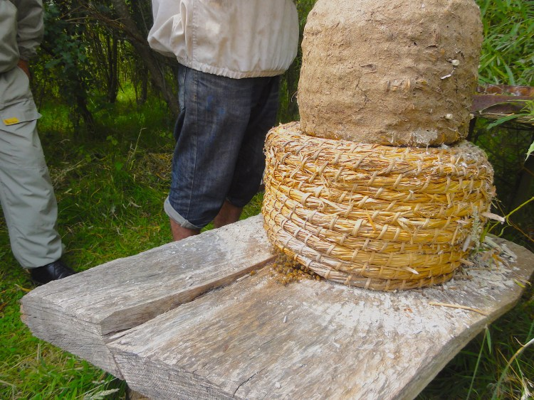 A Skep with a Cap. In this photo the skep has a cap; this is the mud coloured thing sitting onto of the straw skep. The cap is the area for collecting honey. In modern day beekeeping parlance, it is a super. #BeehiveYourself, #WantageHoney, #Skep, Beehive Yourself, Wantage Honey,