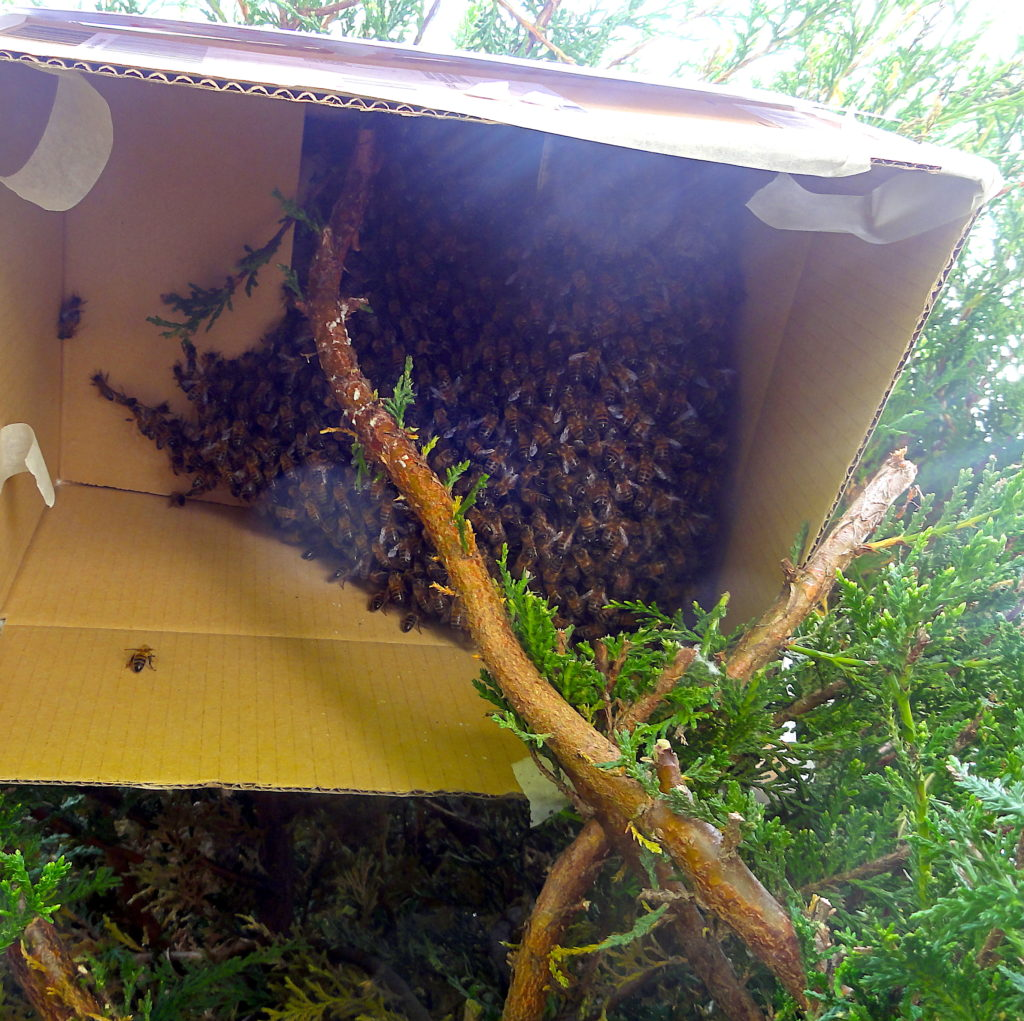 A swarm of Honeybees inside a Cardboard Box - Foliat Drive, Wantage. The box is surrounded by a conifer hedge. #BeehiveYourself, #WantageHoney, #SwarmInABox, #Wantage, Beehive Yourself, Wantage Honey, Wantage,