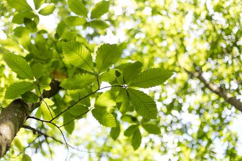 Mindfulness, children and forest school - a picture of sun shing through the leaves of a chestnut tree
