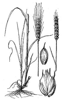 Graan - Hitchcock (1950) Manual of the grasses of the United States