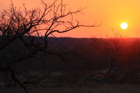 sausage tree sunset
