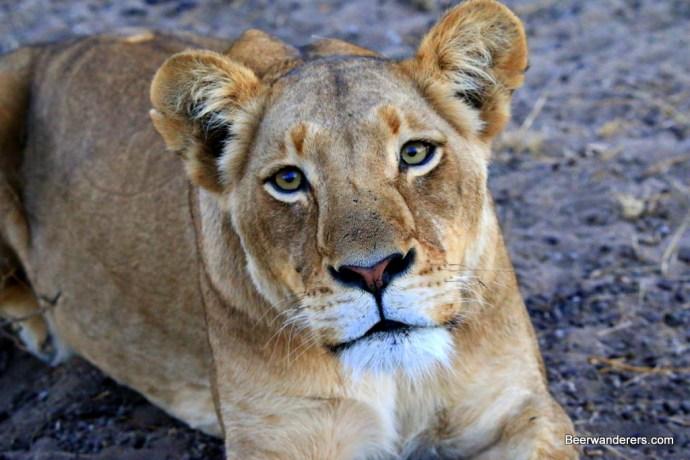 lioness eyes