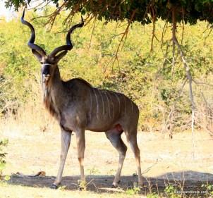 kudu buck
