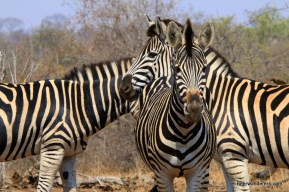 zebras looking in different directions