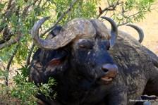 water buffalo sitting