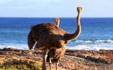 ostriches ocean
