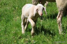 lamb staffelberg