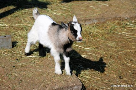 baby goat on farm