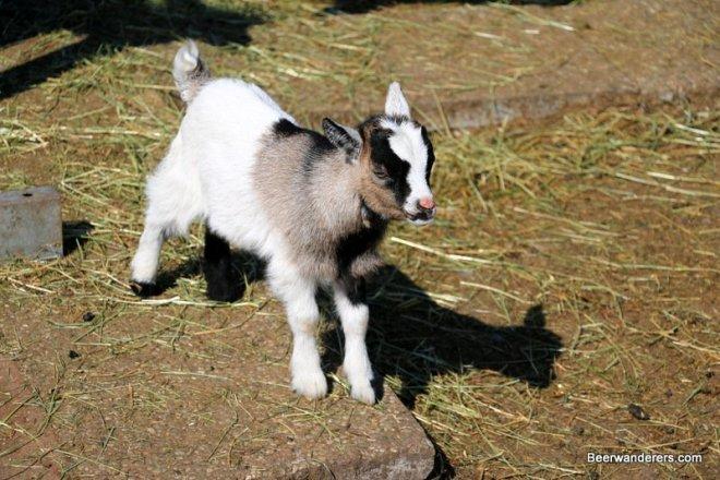 baby goat on farm