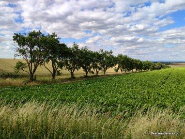 trees along a field