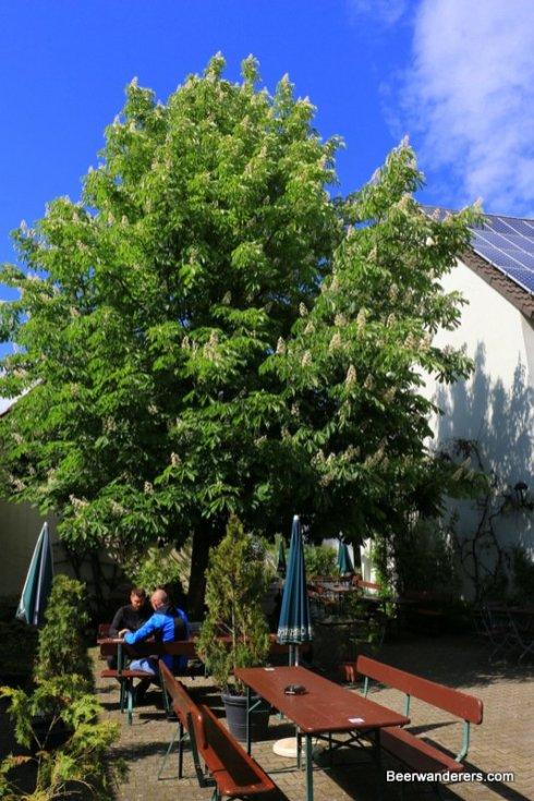 chestnut in bloom in biergarten