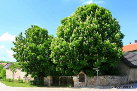 chestnut tree in bloom