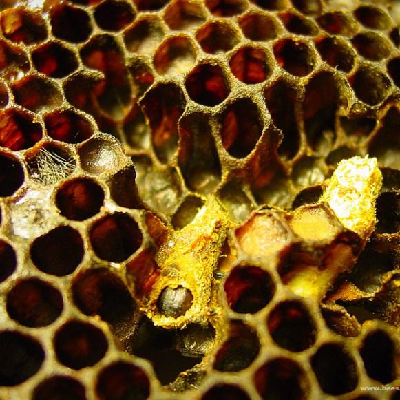 Κηρόσκωρος waxmoth galleria mellonella