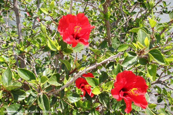 red hibiscus κόκκινος Ιβίσκος