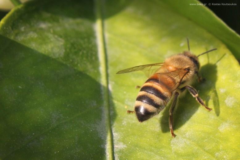 Μέλισσα ξεκουράζεται σε φύλλο πορτοκαλιάς