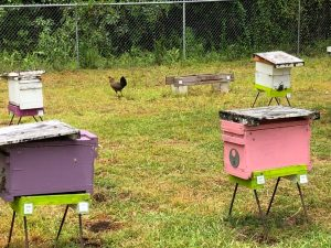 Feral Chickens in Hawaiian Apiary