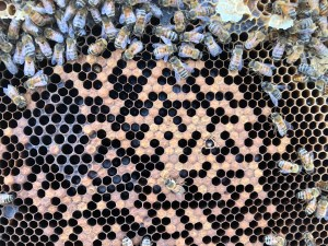 Spotty Brood Pattern