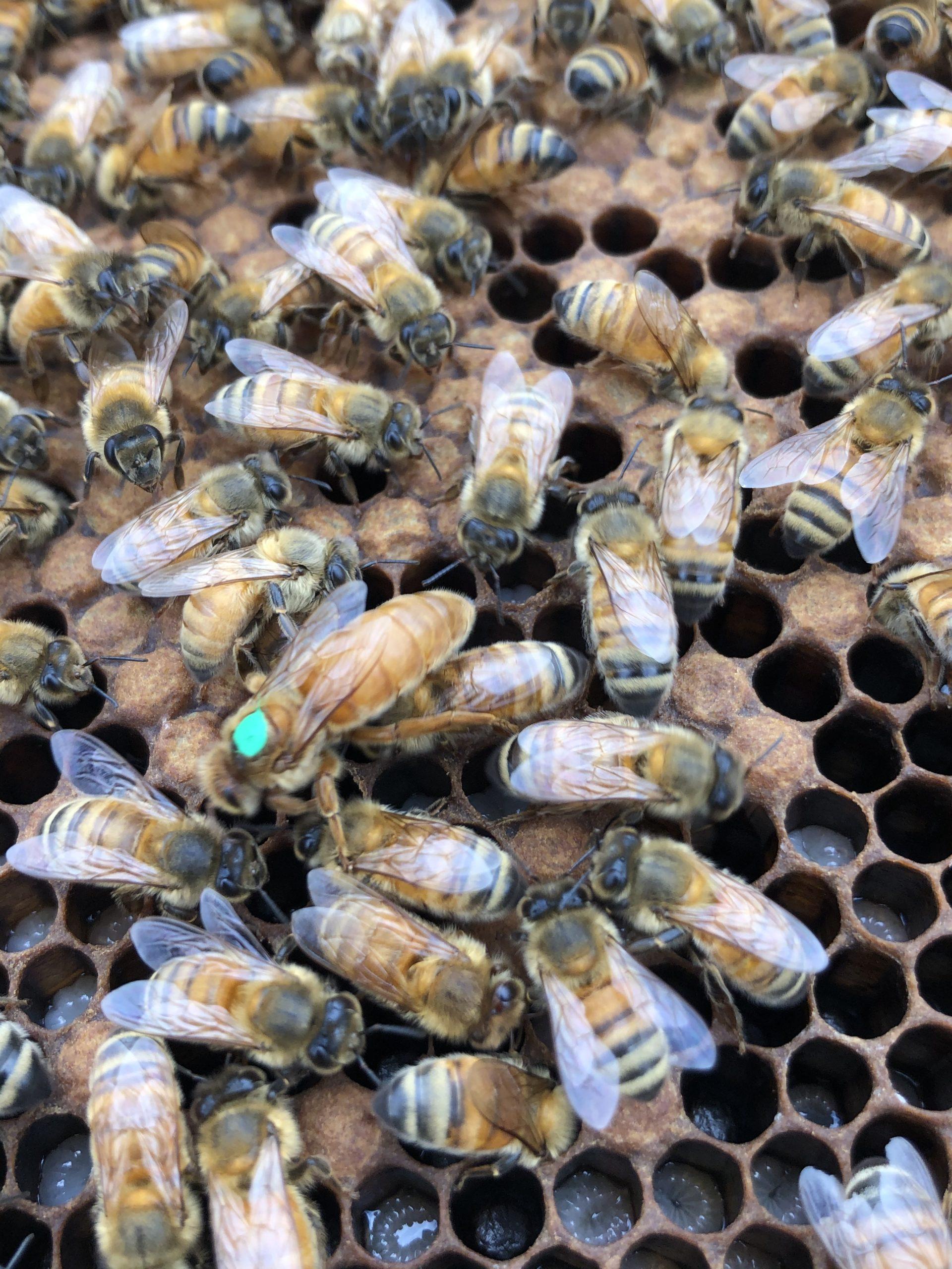 Italian honey bee