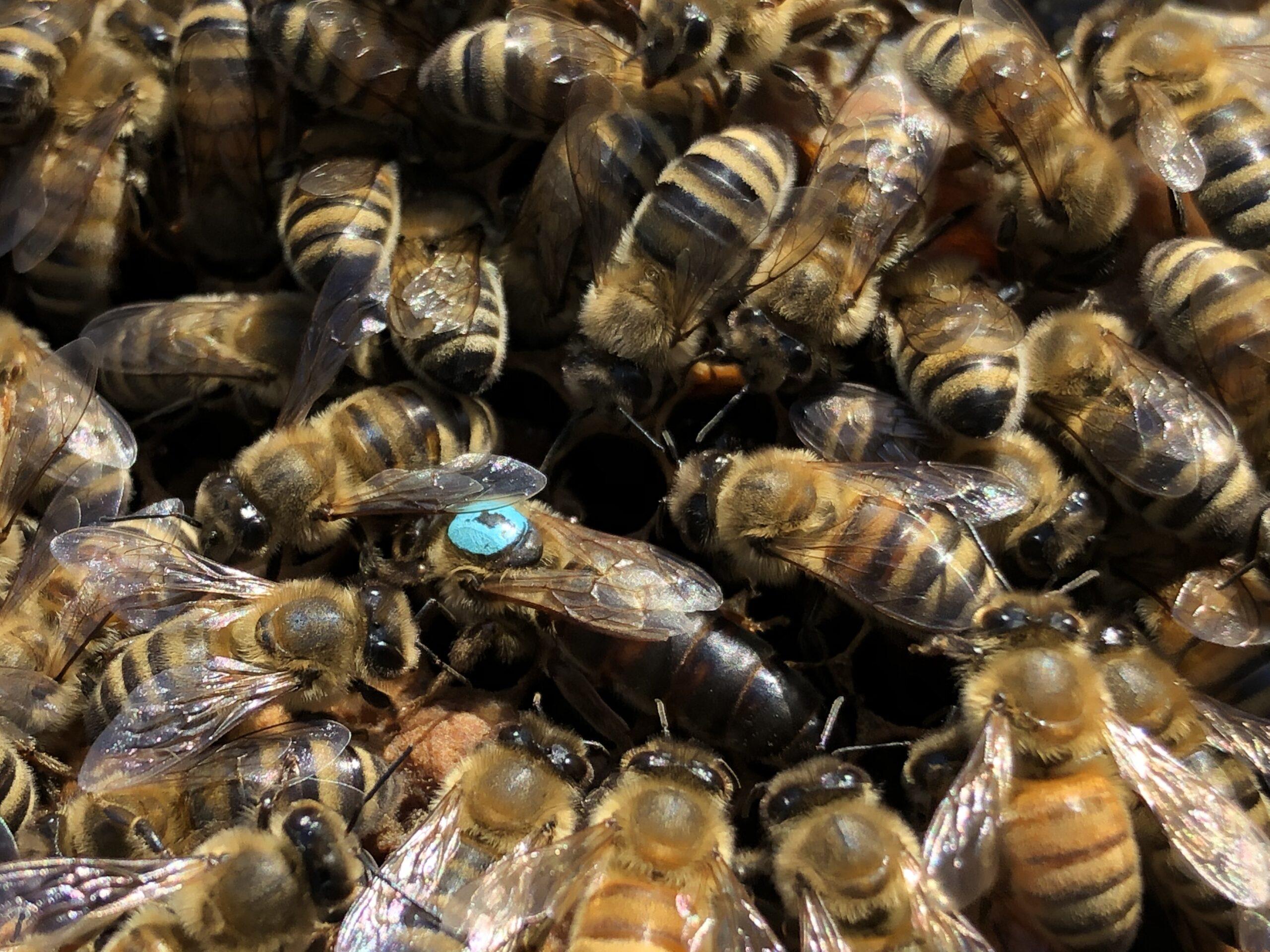 Open mated Caucasian Queen Bee