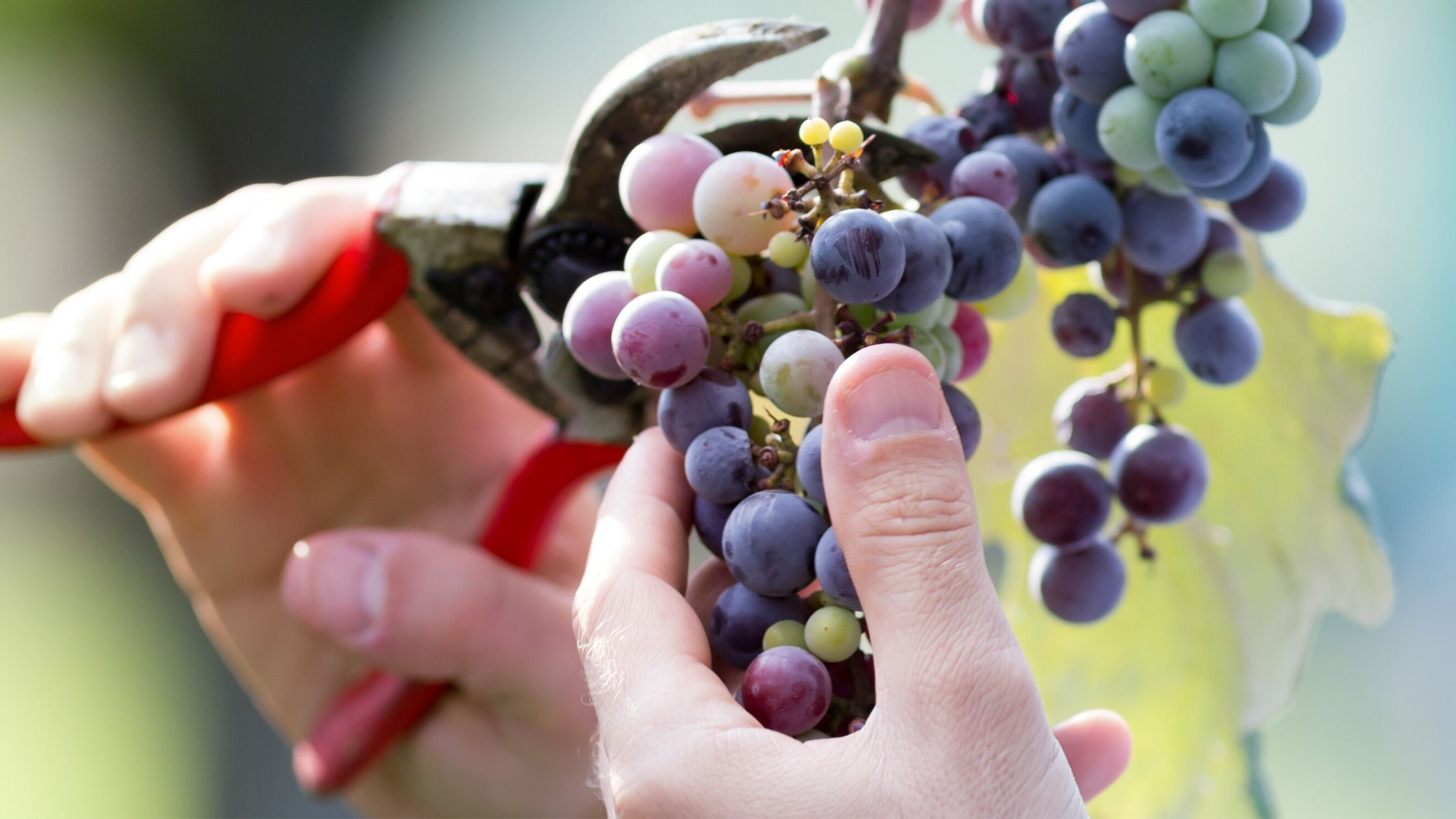 Harvesting Grape by BeeYond Travel