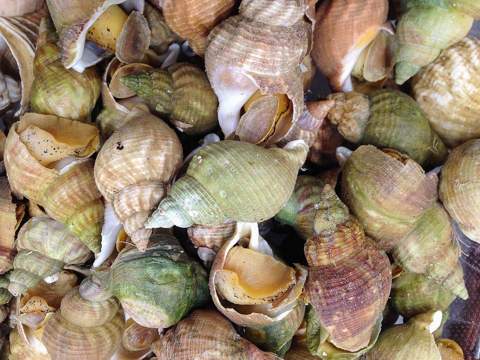periwinkle snail