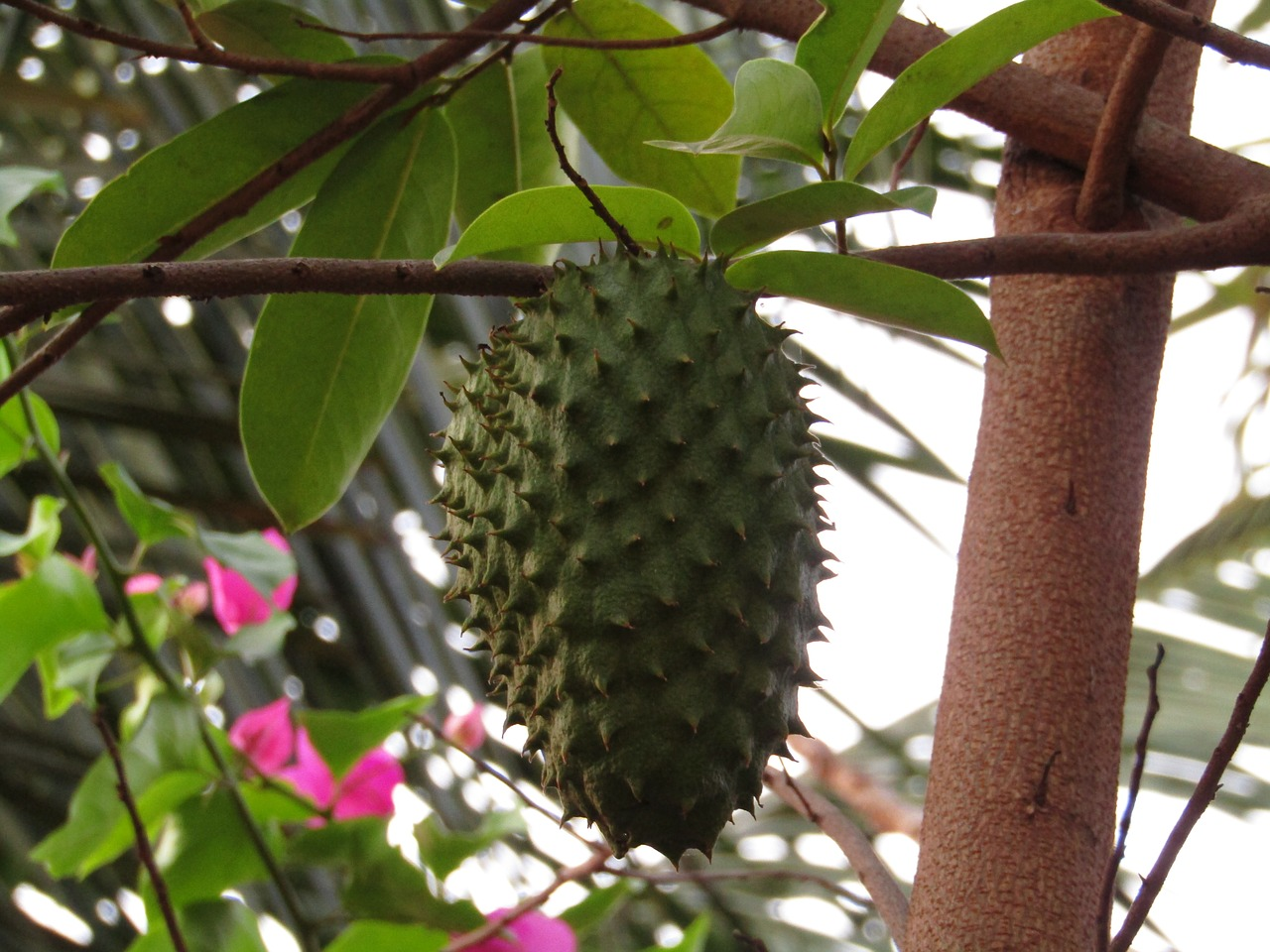 The Super Benefits of Soursop