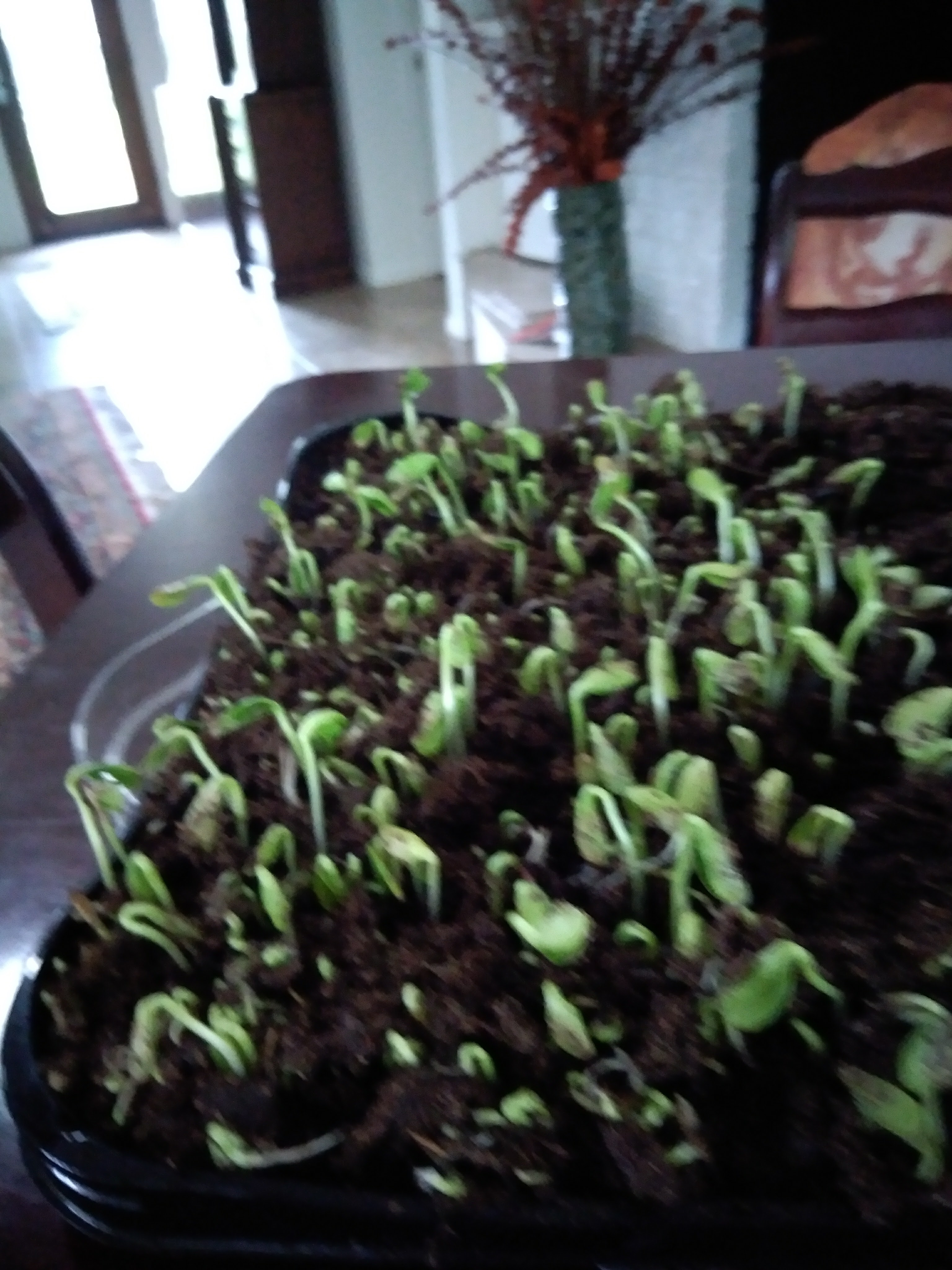 More About Sunflower Seed Sprouts: Day 5: Houston, We Have Sprouts!