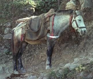 dudh-horse