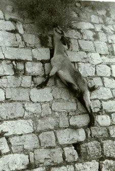 mussoorie-goat