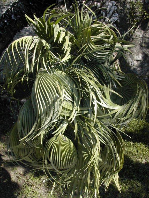 plant at Villa Monastero, Varenna, Lake Como, Italy