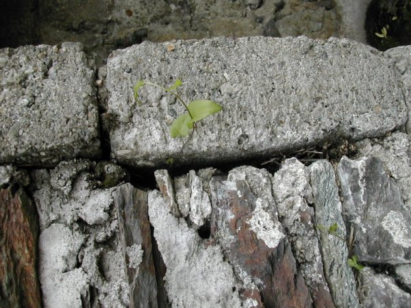 ivy growing out of a stone wall, Italian Alpine village