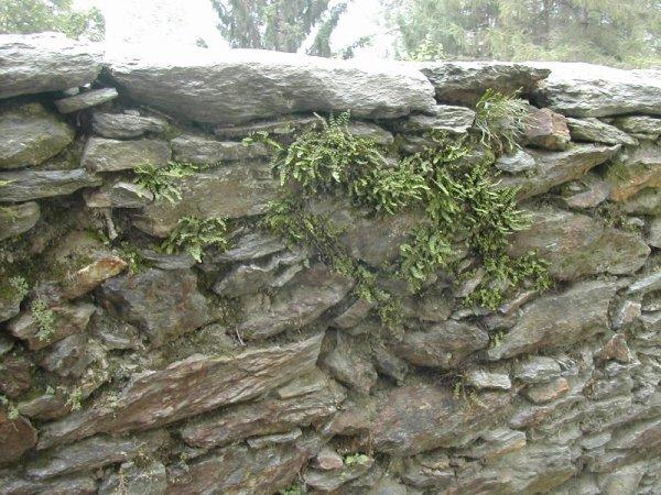 ferns on a wall, Italian Alpine village