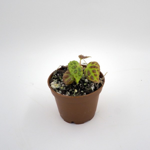 Begonia dracopelta