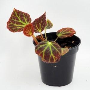 Begonia chloroneura 4'' pot