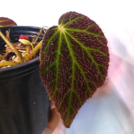 Begonia chloroneura leaf