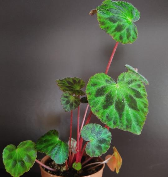 Begonia henryii hemsl plant on dark background