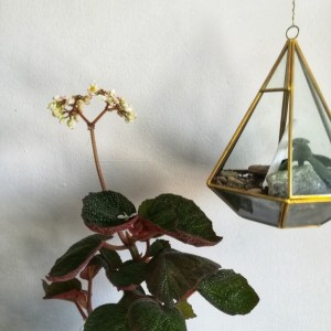 Begonia morocco lifestyle image