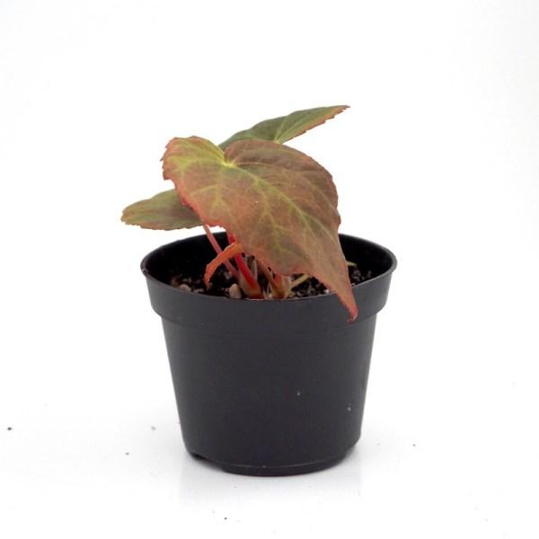 Begonia pavonina leaf