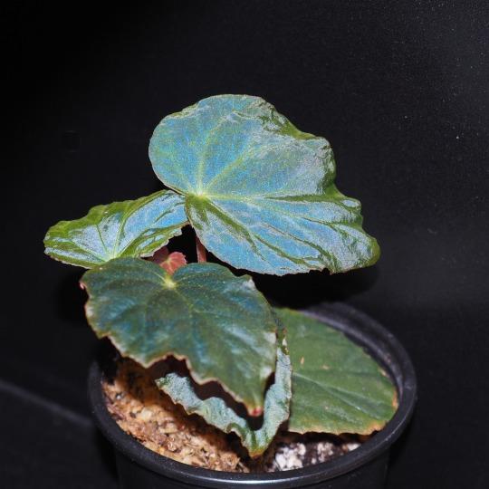 Begonia pavonina in the dark showing iridescence