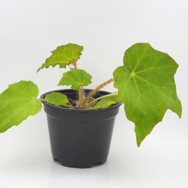 Begonia ricinifolia product image