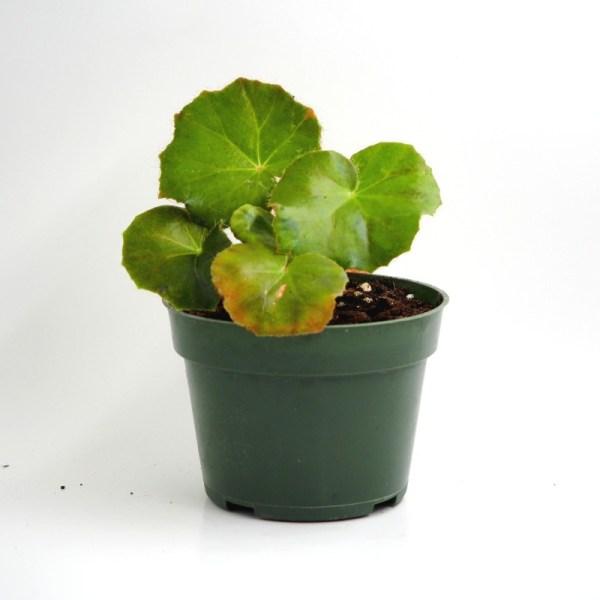 Begonia erythrophylla product image