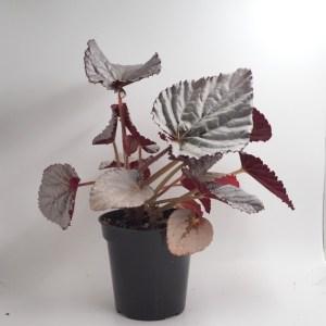 Begonia silver treasure product photo