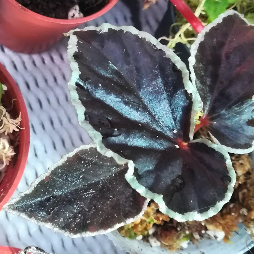 Begonia Darhtvaderiana small plant