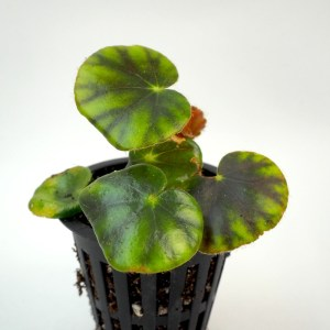 begonia hydrocotylifolia buy