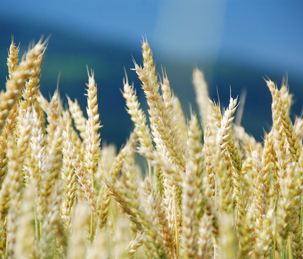 wheat-1786977_1280
