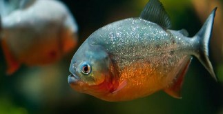 4 Interesting Facts About Red-bellied Piranha | Amazon Rain Forest 4 Behind History
