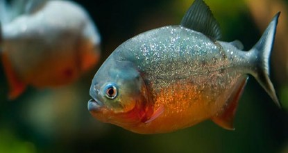 4 Interesting Facts About Red-bellied Piranha | Amazon Rain Forest 19 Behind History