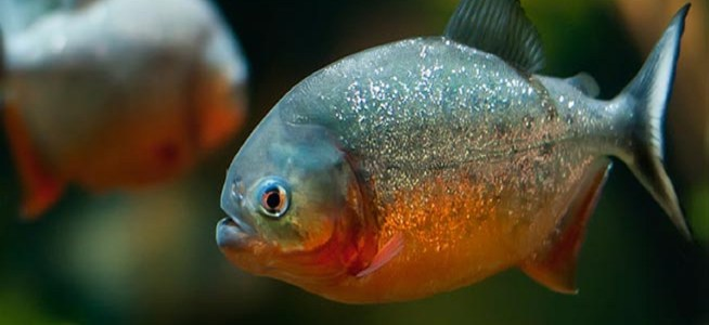 4 Interesting Facts About Red-bellied Piranha | Amazon Rain Forest 1 Behind History